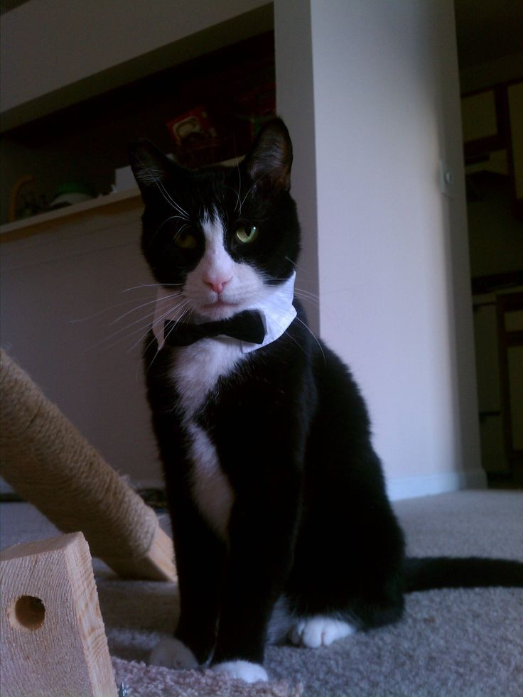 Tuxedo Cat, ready for a night on the town