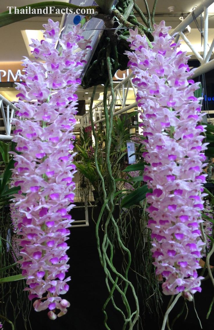 ThailandFacts.com orchid