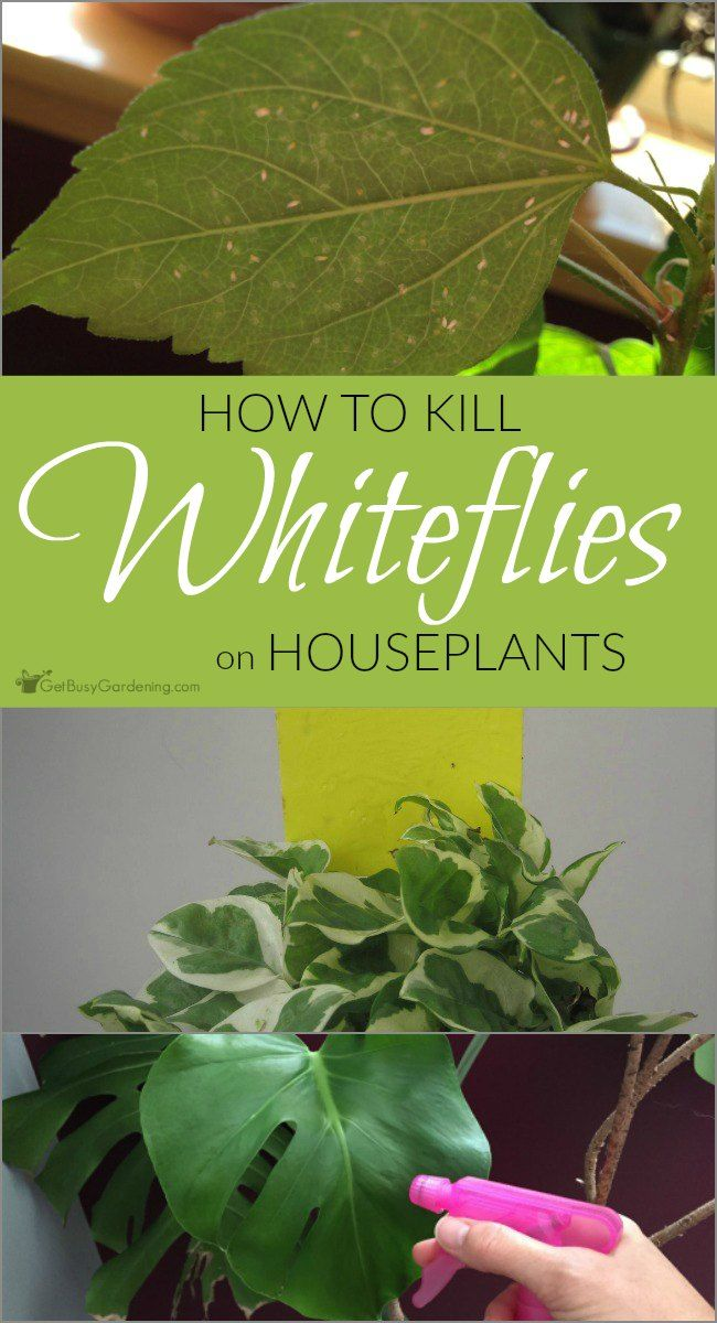 Pest infestations on houseplants are no fun, and dealing with whiteflies can be difficult. There are several ways to control whiteflies organically.