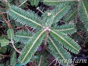 Abies homolepis - Nikko FirAbi Homolepi, Trees Abi