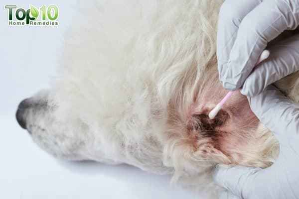 Domains Currently For Sale Dog Ear Mites Dog Remedies Mites On Dogs