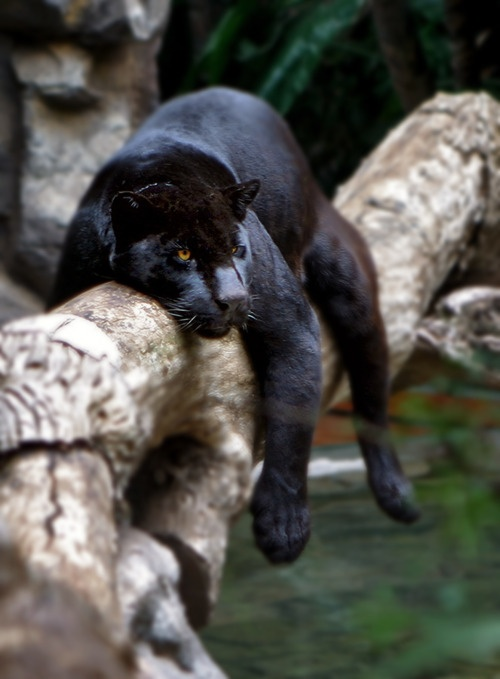Black panther lounging on tree branch.  This is exactly how our Fancy cat used to relax on the back of the dinette chairs!