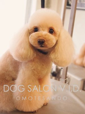 564 Best Dog Grooming Images On Pinterest Poodles Dog Haircuts