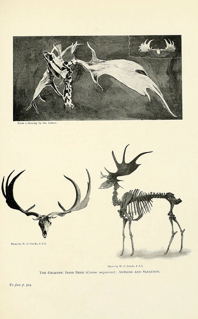 The Gigantic Irish Deer (Cervus megaceros) Antlers and Skeleton: Flickr, Natural History, Photo