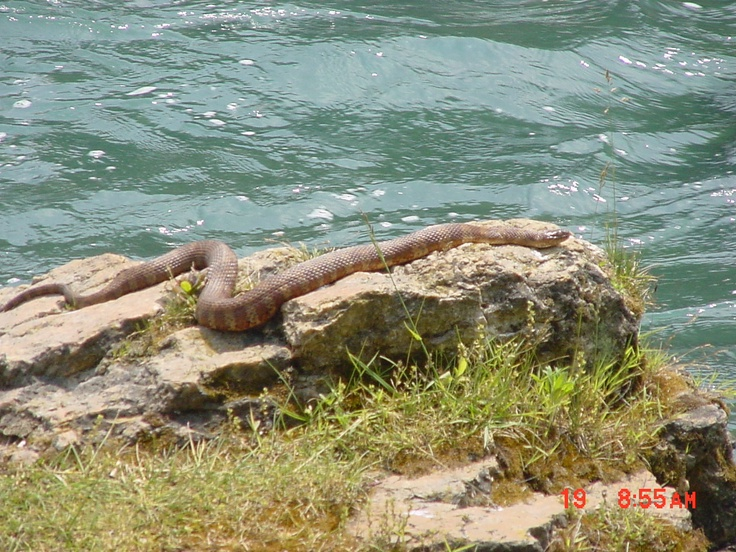 spring river copperhead snake