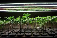 Why You Should Clone Your Cannabis Plants
