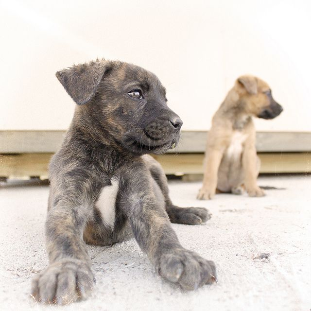Boxer Shepherd Mix Puppy Pictures