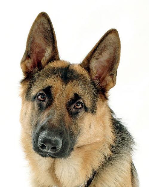 German Shepherd Police Dog - Bing Images