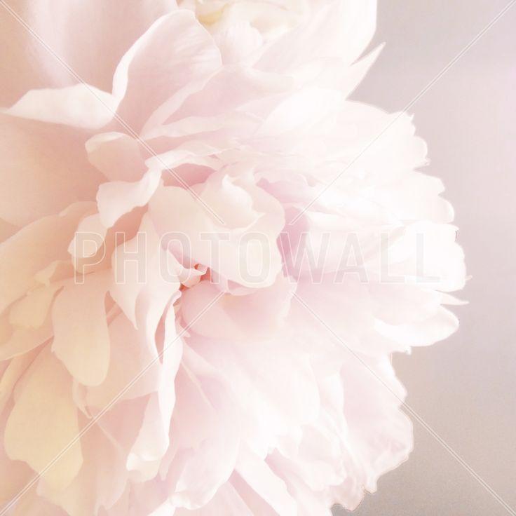 Light Pink Peony - Fototapeter & Tapeter - Photowall