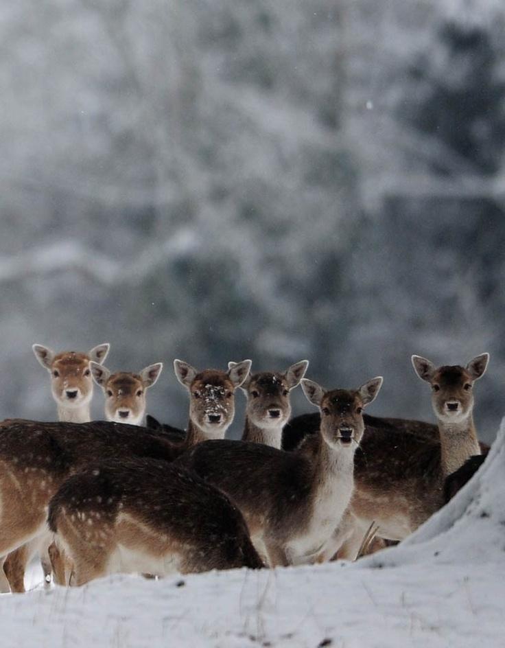 Un grupo de ciervos salen tras una nevada.