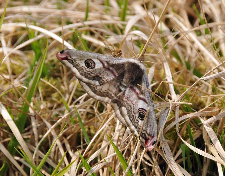 Emperor Moths (1), Isle of Islay
