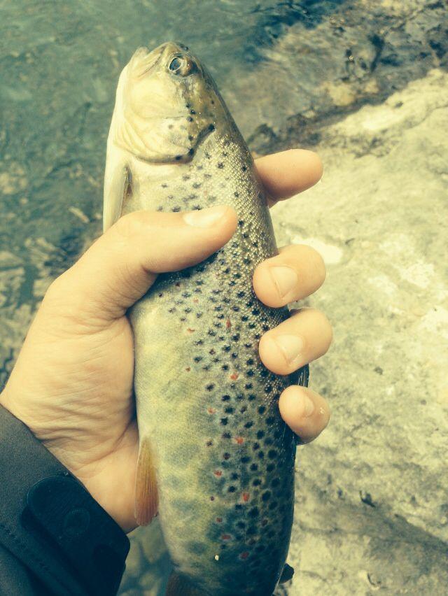 Brown trout - Sava Bohinka