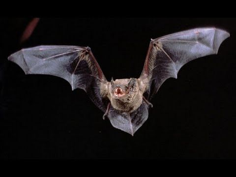 Secrets and Mysteries of Bats (Full Documentary)