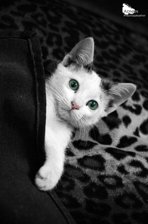 rokuthecat:  under the blanket ! by mh_adnan Cute kitten under the blanket …! adorable,animal,blanket,cat,cats,cute,kitten,kitty,photo,under