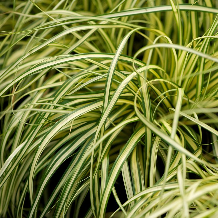(P2) Carex oshimensis 'Evergold' Evergreen clump forming sedge grass Fully hardy, sun or part shade. Any aspect, well drained or moist soil H. 15cm S: 500 cm