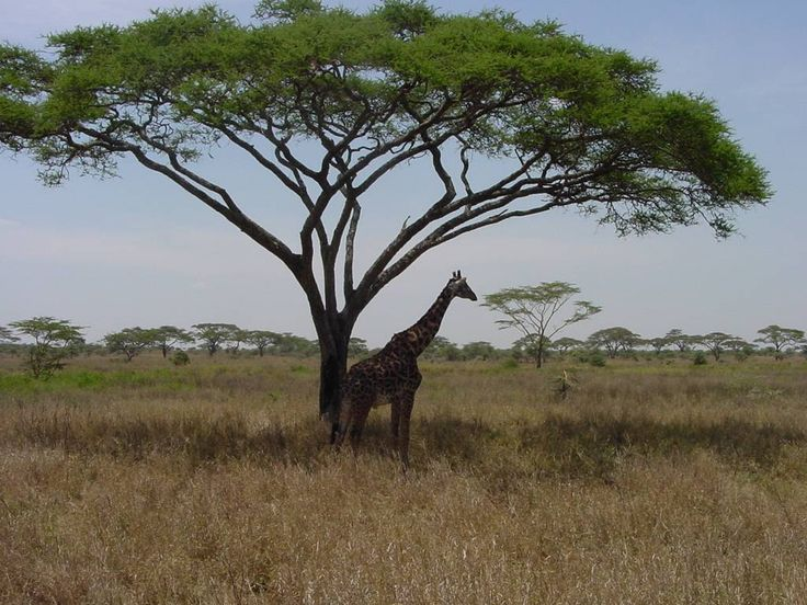 pic african trees 44 acacia trees click on 39 dry plains and acacia trees 39 in the 3rd. Black Bedroom Furniture Sets. Home Design Ideas