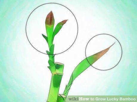 Image titled Grow Lucky Bamboo Step 9