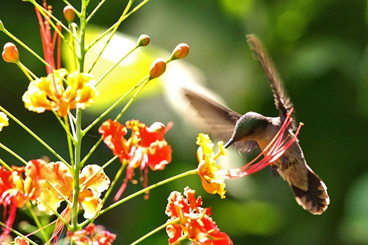 Hummingbird in Hunte's Gardens, Barbados | Unmissable things to do in #Barbados | Weather2Travel.com #beach #caribbean #travel #holiday #sun