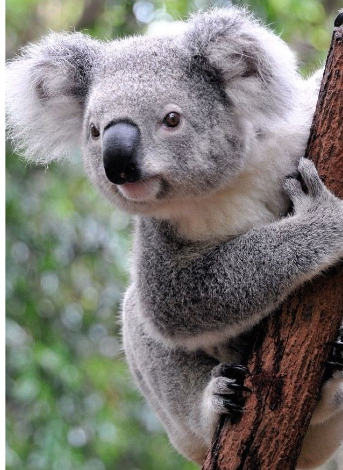 Cute And Funny Baby Koala Wallpaper You Talking To Me I Love Animals Animals Cute