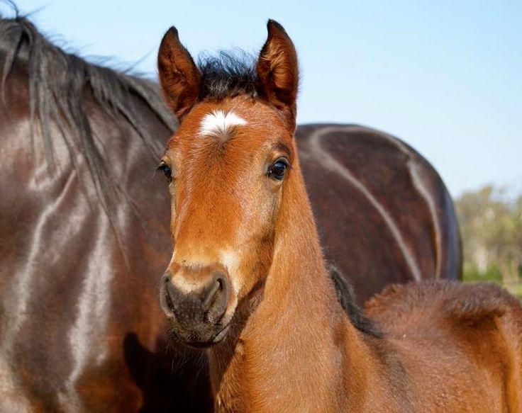 Western Terror - Left A Dream colt Standardbred Broodmare Foal Harness Racing Vicbred By Nikkita Ross