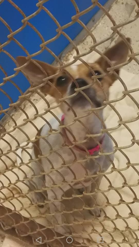 ADOPTED!!  Mary Esther,FL - Meet Rose, an adoptable Basenji looking for a forever home;  LOCATED at Save UnderDogs, Mary Esther,FL