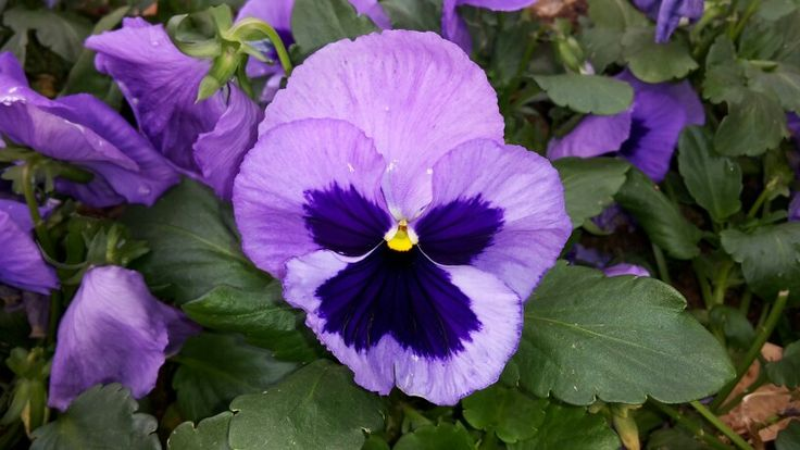 Pansy - Spring is here and the gardens are full of colour