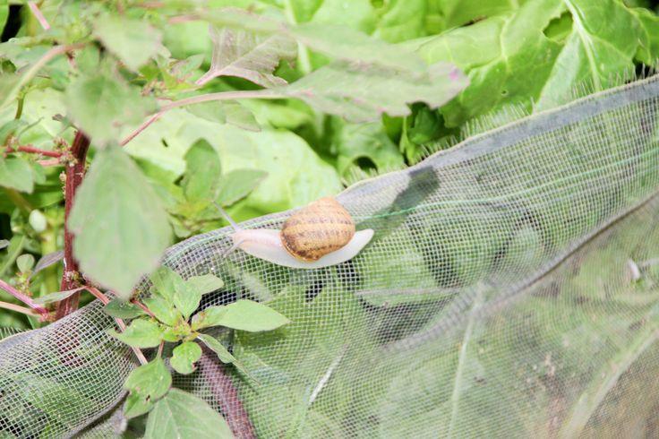 Granja de caracoles helix aspersa en Málaga