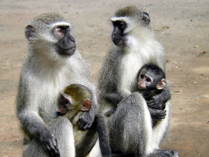 Two monkey mothers with their babies at Shelley Beach, Kwa Zulu, Natal