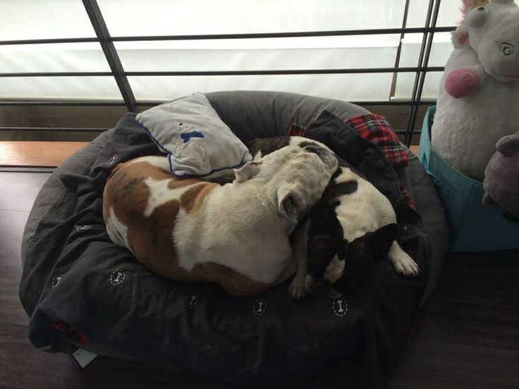 Brother love! French and English bulldog