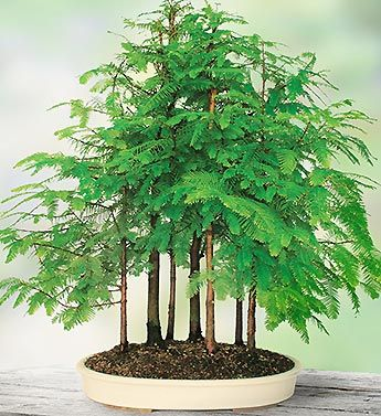 Dawn Redwood Grove Bonsai.                                                           Long believed extinct, scientists in the 1940s rediscovered the Dawn Redwood at a temple in an upland valley of China. From a single copse of trees, seeds were distributed worldwide. These trees have captured the imagination of modern bonsai artisans; they have beautiful feather-like foliage, and possess the redwood's quintessential regal majesty.