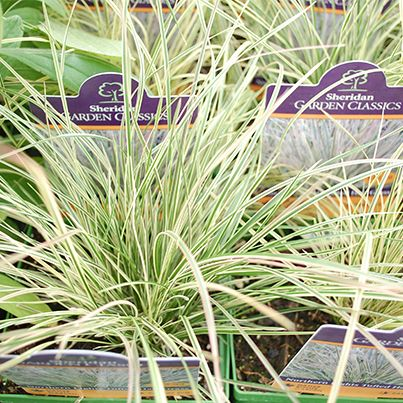 """The """"Northern Lights"""" Tufted #Grass is great for partly shaded borders, mass or specimen plantings. For more details on this fun grass, click the photo or visit us at: http://www.sheridannurseries.com/plant_product_view?PE0366"""