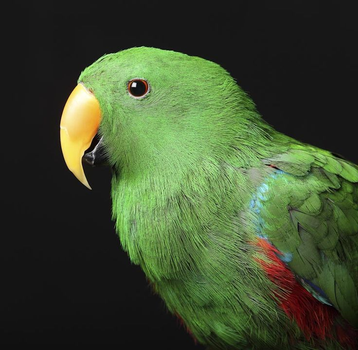 Portrait of a male Eclectus Parrot in the Archer Imagery pet portrait studio…