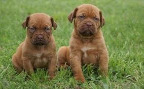 Dogue de bordeaux is very co-operative and has dominant ...
