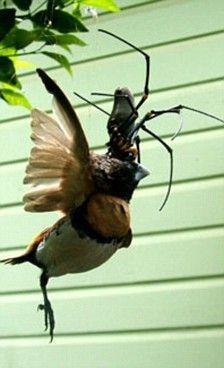 Aranha gigante comendo um passarinho