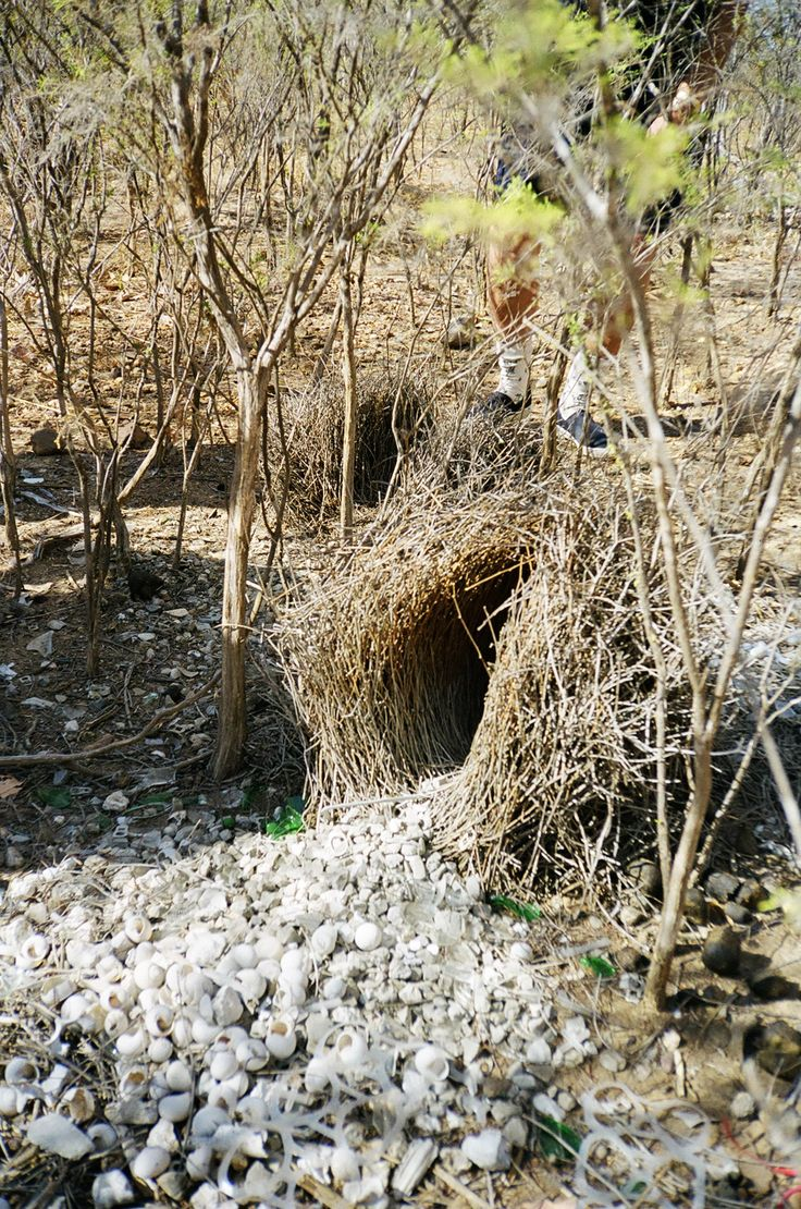 Male bower bird's nest complete with a display to tempt a mate.