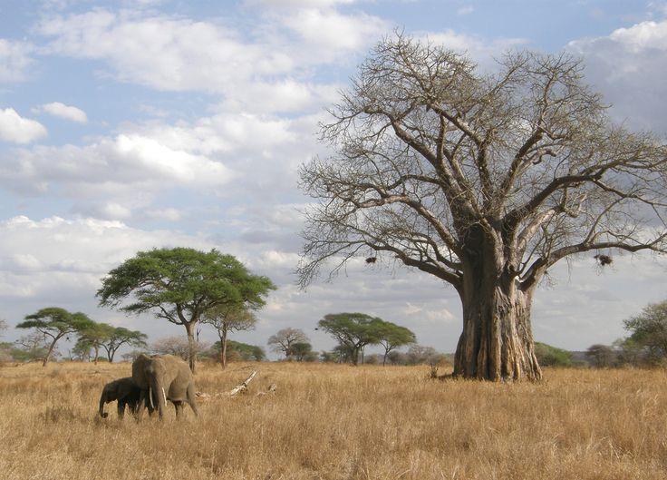 Баобаб-одно из самых толстых деревьев в мире-при средней окружности ствола 9—10 м, его высота всего 18-25 м. Наверху ствол разделяется на толстые, почти горизонтальные ветви, образующие большую, до 38 м в диаметре, крону. В сухой период, зимой, когда баобаб сбрасывает листву, он приобретает курьёзный вид дерева, растущего корнями вверх.
