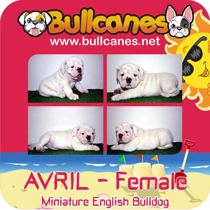 Miniature English Bulldog Puppies for Sale  http://www.bullcanes.net Bullcanes1@hotmail.com TollFree: 1-888 780 6050
