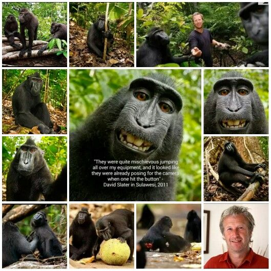 Sulawesi Monkeys and David Slater