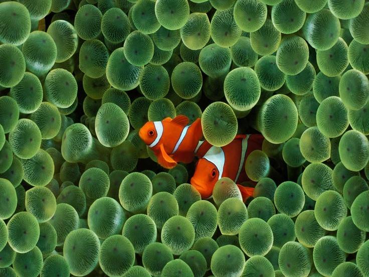 peixe palhaço