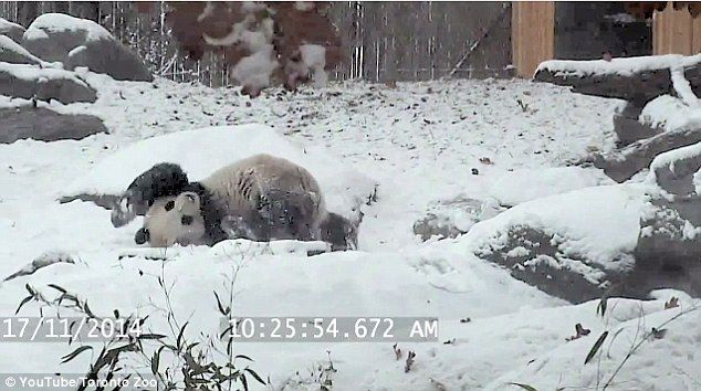 Watch a Giant Panda play in the snow at the Toronto Zoo. So cute!