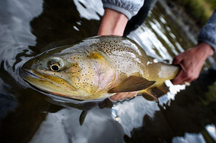 Cutthroat Trout. Idaho.  Nikon AF-S 14-24mm f/2.8