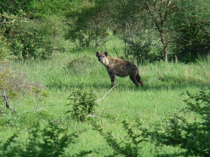 Krugerpark Hyena