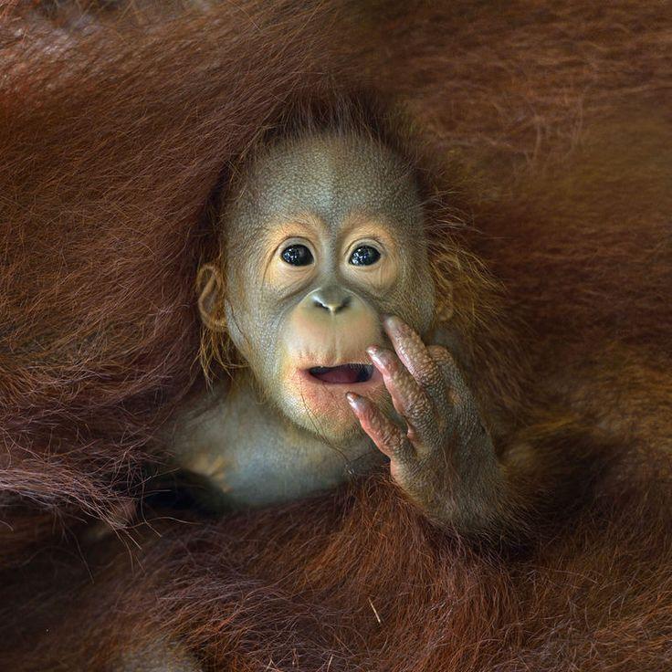Een baby orang-oetan wordt omarmd door zijn ...