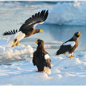 Sea Eagles Wallpaper | free manly sea eagles wallpaper, manly sea eagles iphone wallpaper, manly sea eagles logo wallpaper, manly warringah sea eagles wallpaper, sea eagles wallpaper