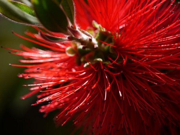 Der Callistemon ist eine schöne Kübelpflanze, die rote Fadenblüten in Zylinderputzerform bildet. Wann der Callistemon winterhart ist, zeigt dieser Beitrag.