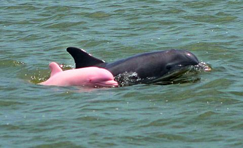 pink dolphin