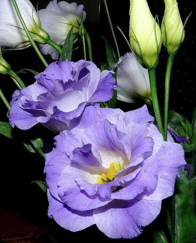эустома фото цветов | Фотоархив