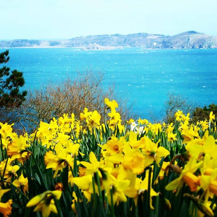 Spring In Guernsey Looking Across At Herm