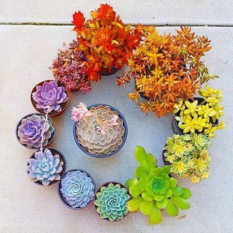 rainbow of succulent plants
