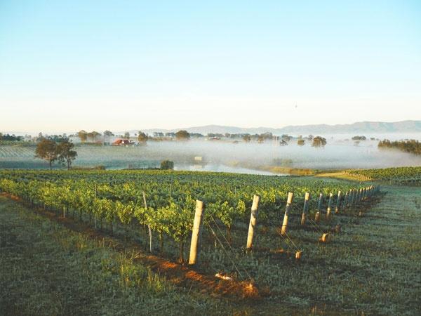 Lovedale vineyards misty morning